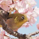 メジロと早咲き桜