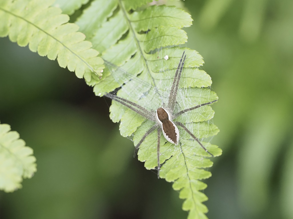 スジブトハシリグモ