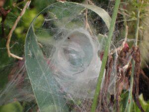 コグサグモ